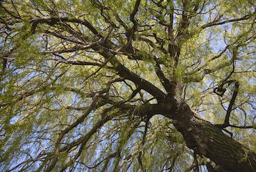 Natur wahrnehmen Blick in Weidenkrone - (c) ABCDK Depositphotos